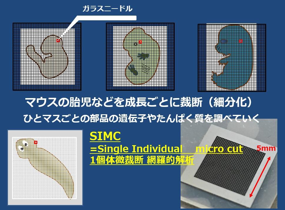 SIMC_1個体微裁断